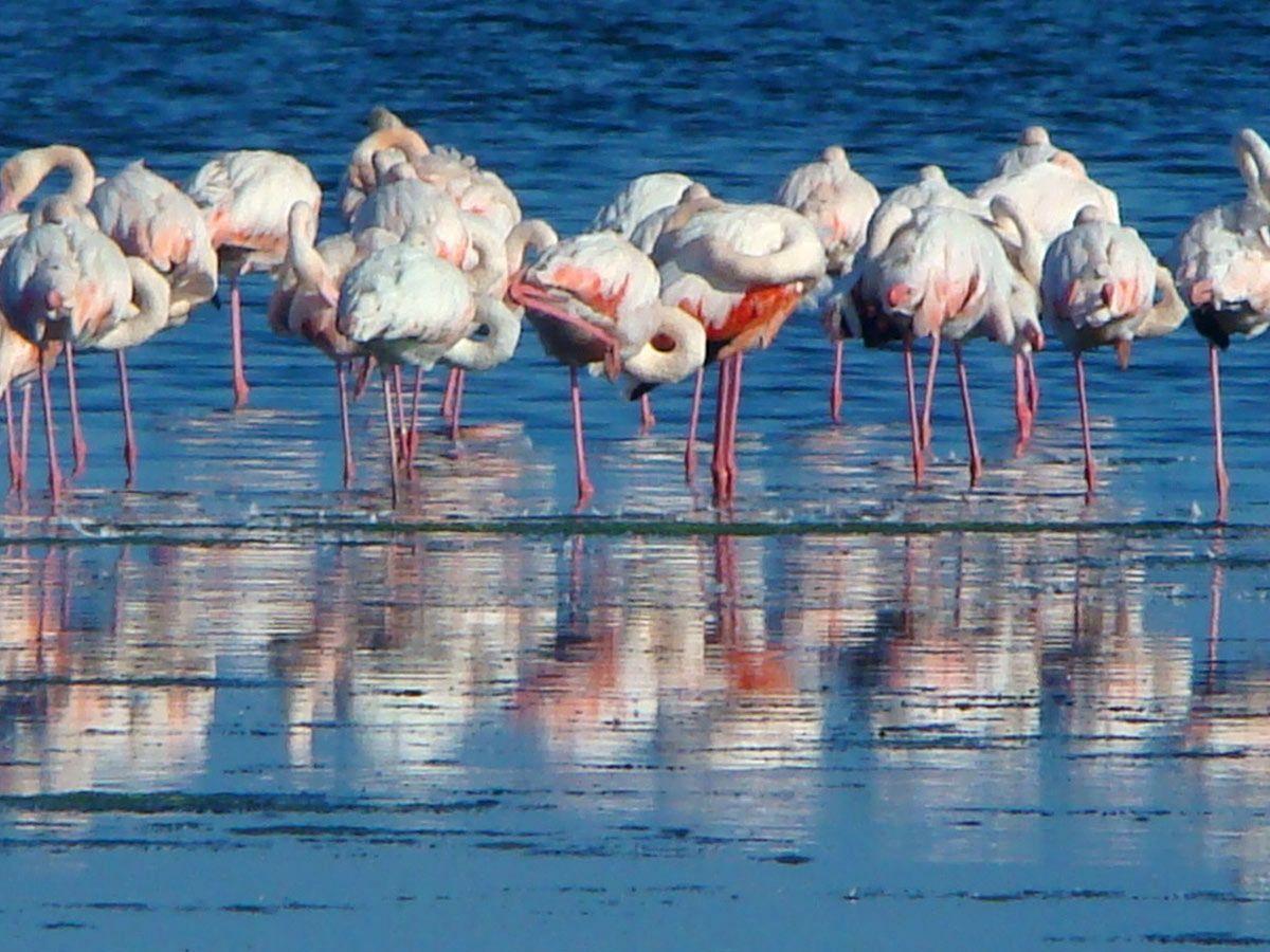 fenicotteri rosa nella laguna di San Teodoro