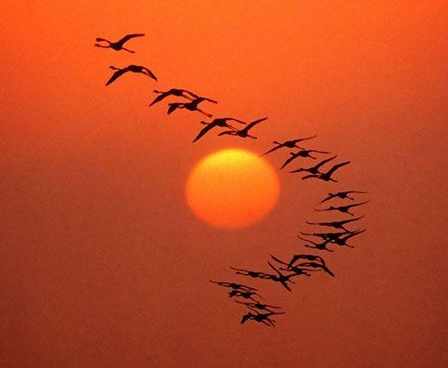 fenicotteri rosa in volo sulla laguna di San Teodoro
